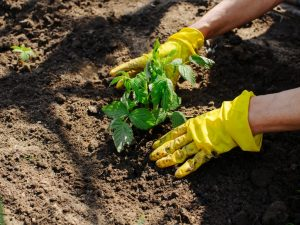 Правила осенней посадки ремонтантной малины — пошаговая инструкция