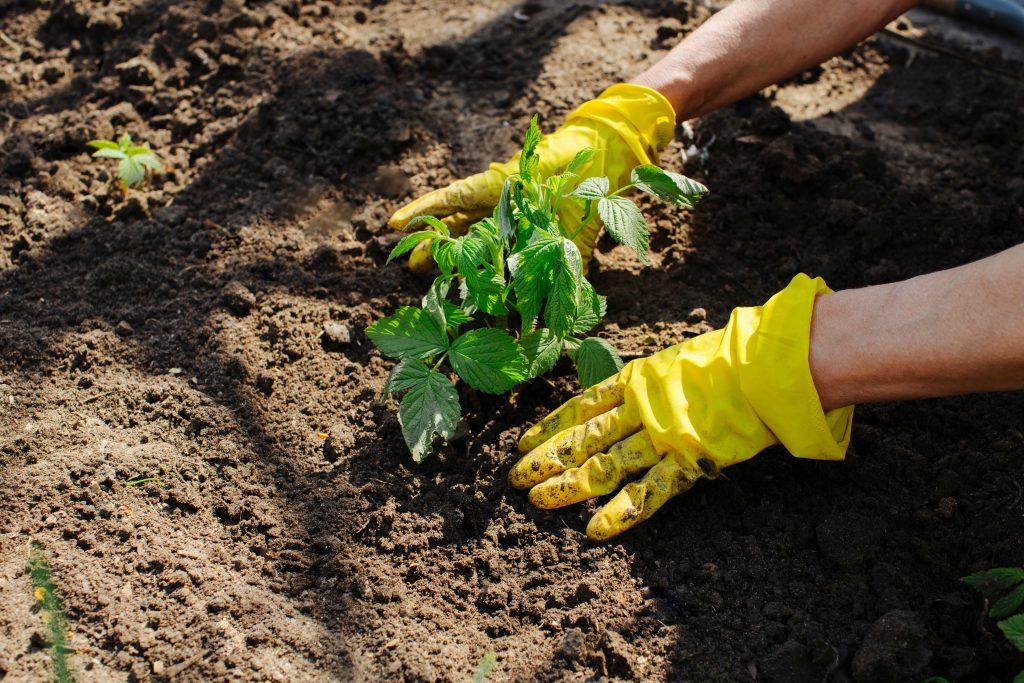 Можно ли сажать виноград осенью сроки правила основные работы и пошаговая инструкция для начинающих