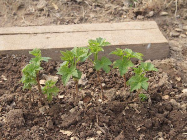 Размножение смородины черенками — правила и рекомендации