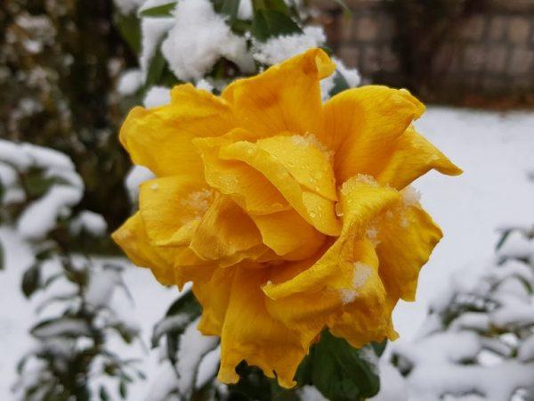 Укрываем розы на зиму в Подмосковье — правила и сроки