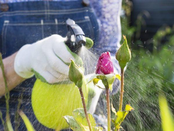 Розы необходимо обработать от вредителей