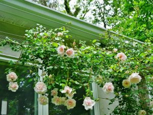 Укрытие плетистых роз на зиму — что советуют опытные садоводы