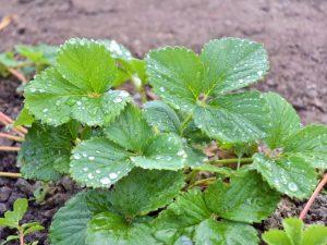 Осенняя обработка клубники — важные советы