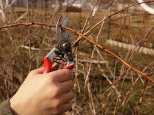Правила обрезки малины осенью — простые схемы