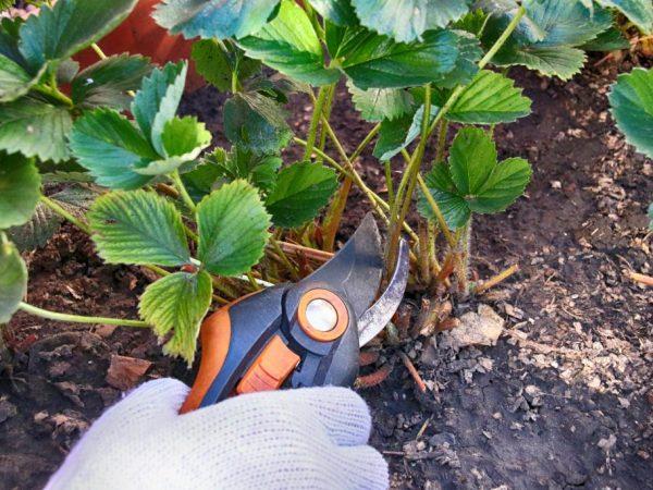 Осенняя обрезка клубники — схемы и рекомендации