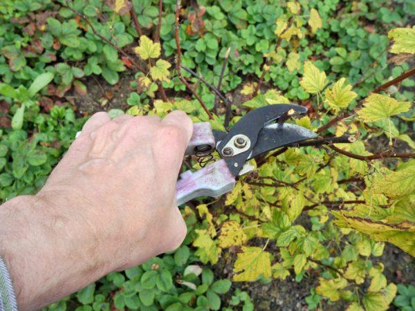 Обрезка смородины осенью — основные правила