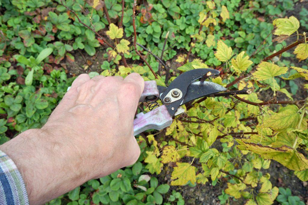 Обрезка старых кустов черной смородины осенью
