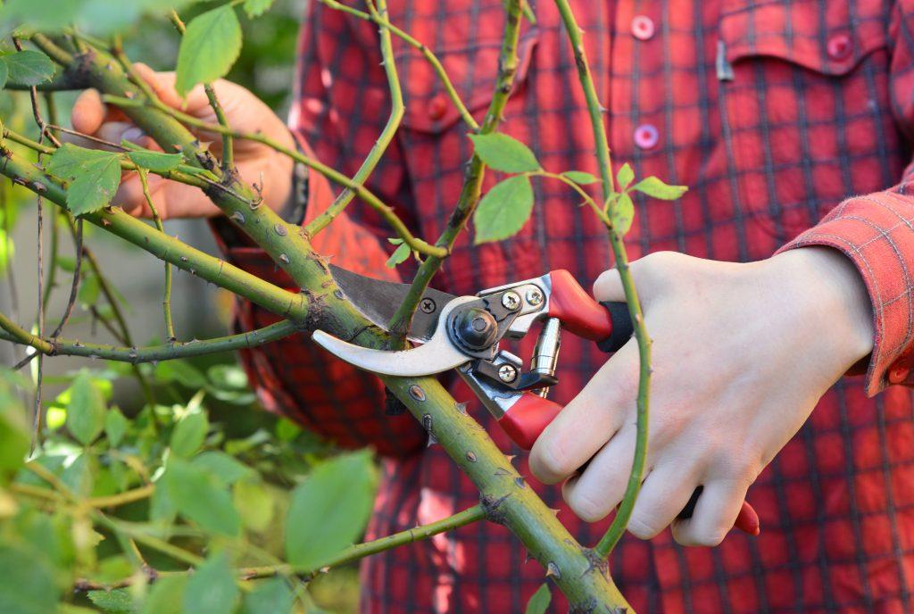 Как обрезать плетущие розы на зиму
