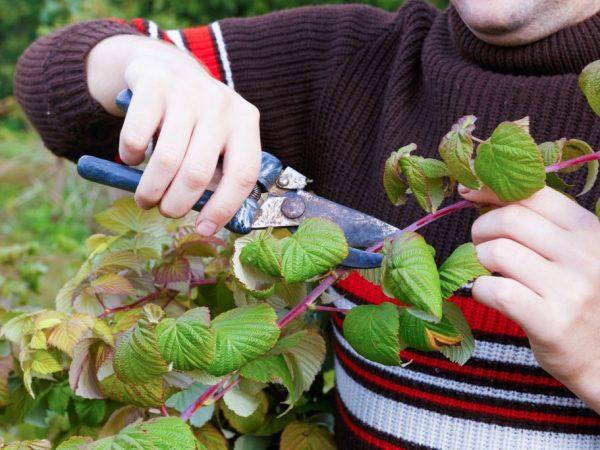 На Урале малину начинают готовить к зиме в сентябре