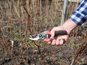 Обрезаем ремонтантную малину осенью — цель процедуры и технология