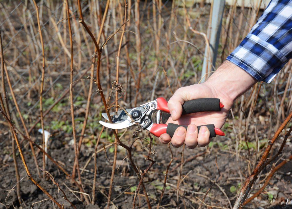 Когда обрывать листья винограда тонкости прцедуры удаления листвы