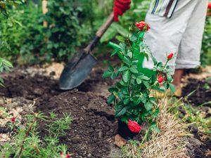 Как пересадить розы осенью — простая технология