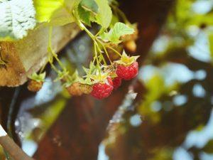 Чем подкормить малину осенью — какое удобрение выбрать