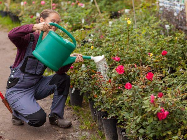 Подкормки положительно влияют на здоровье цветов