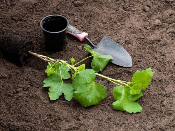 Выбирайте для посадки только здоровые растения