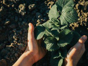 Как посадить клубнику осенью