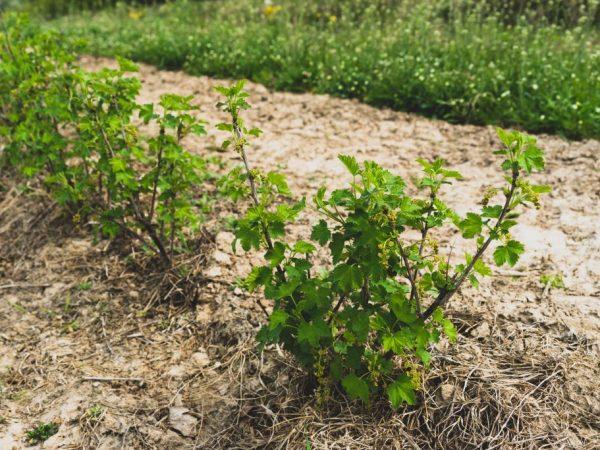 Как посадить смородину осенью — правила и рекомендации