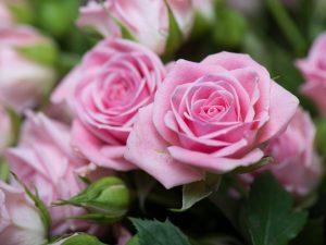 Осеннее черенкование розы — размножаем в домашних условиях