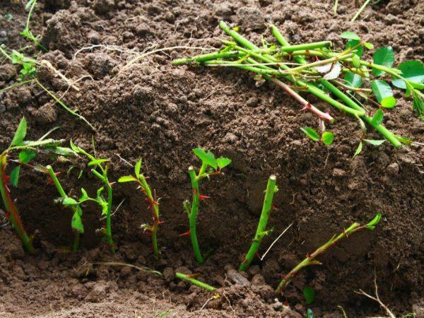 Весной саженцы можно пересадить в грунт