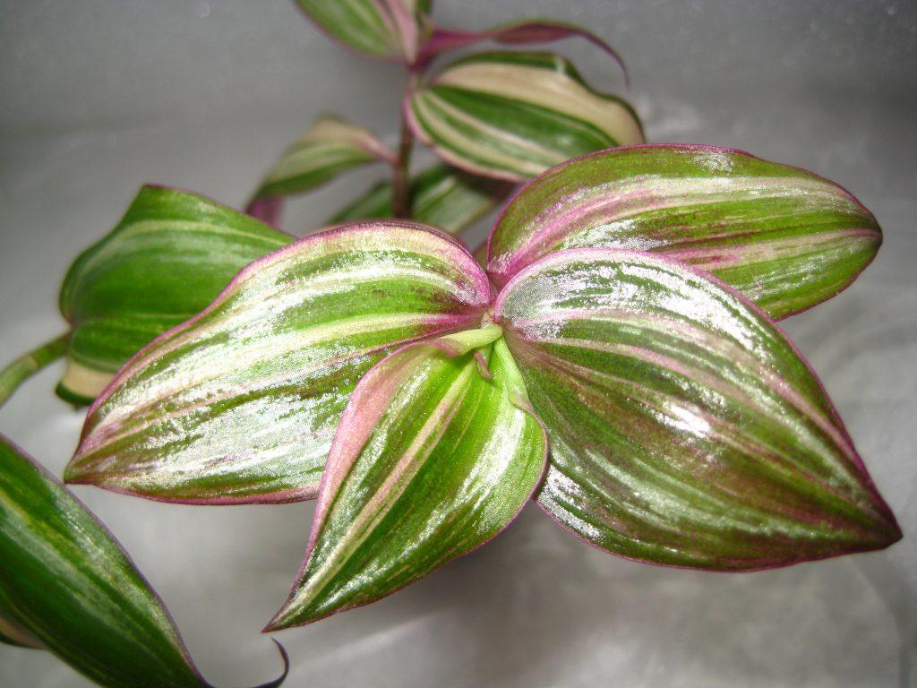 Традесканция разноцветная дикорастущее растение