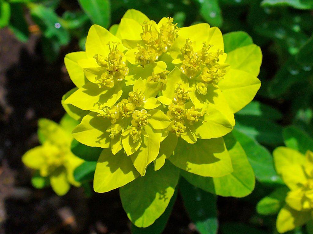 Молочай многоцветковый euphorbia
