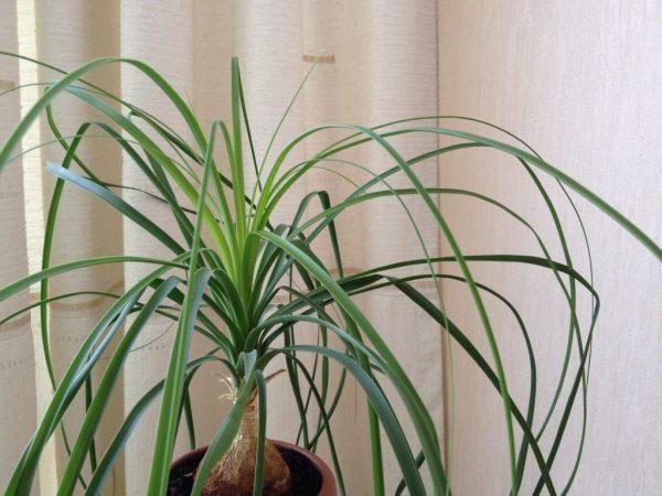 Молодое растение пересаживают раз в год