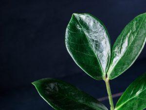 Черный замиокулькас — красивейшее долларовое дерево