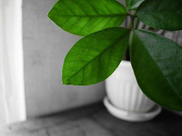 Растение можно размножить черенками