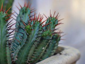 Выращивание эуфорбии Энопла