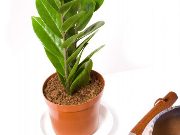 Размер горшка зависит от возраста растения