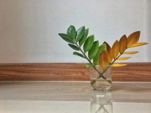 Размножение Замиокулькаса — как провести процедуру в домашних условиях