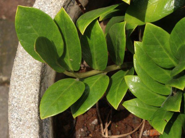 Время пересадки зависит от возраста растения