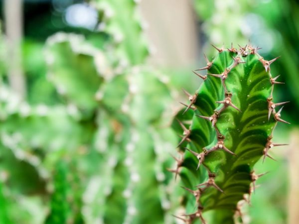 Молочай Смолоносный — как ухаживать за растением