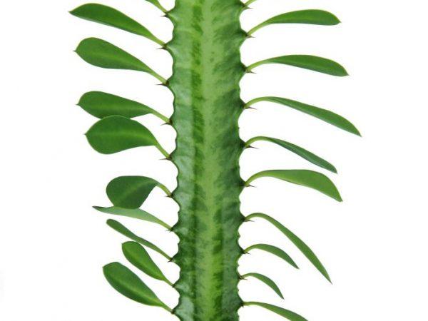 Растение успешно растет в домашних условиях