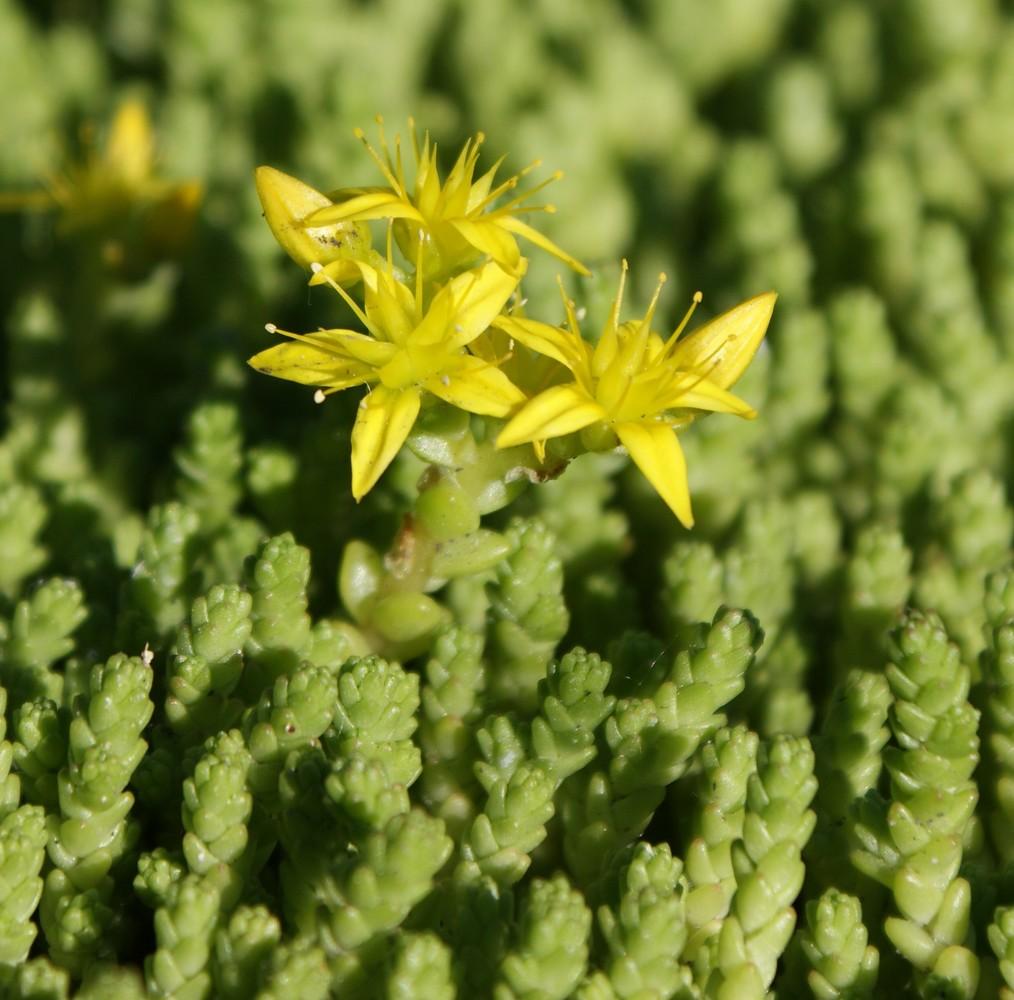 Очиток едкий выращивание из семян фото