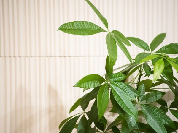 Пахира — условия для домашнего выращивания