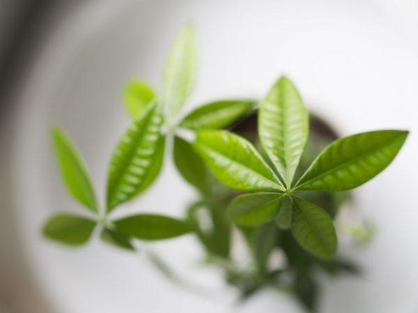 Растению можно придавать разную форму