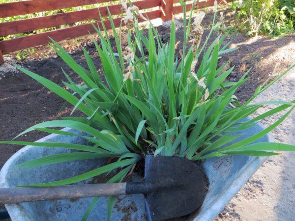 Как посадить ирисы осенью — пошаговая инструкция