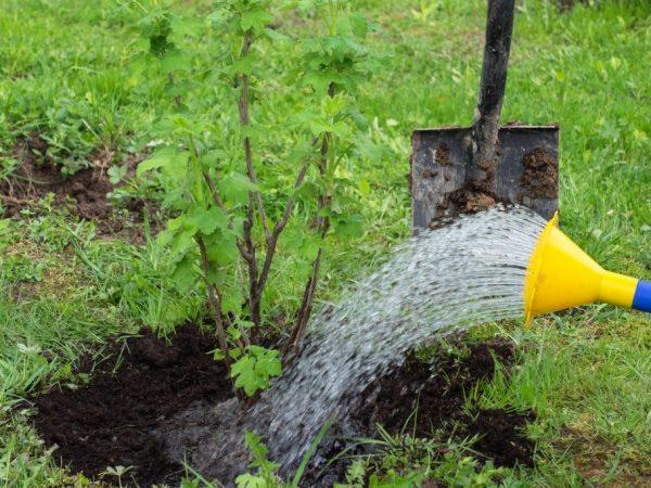 Осенняя подкормка смородины — главные правила