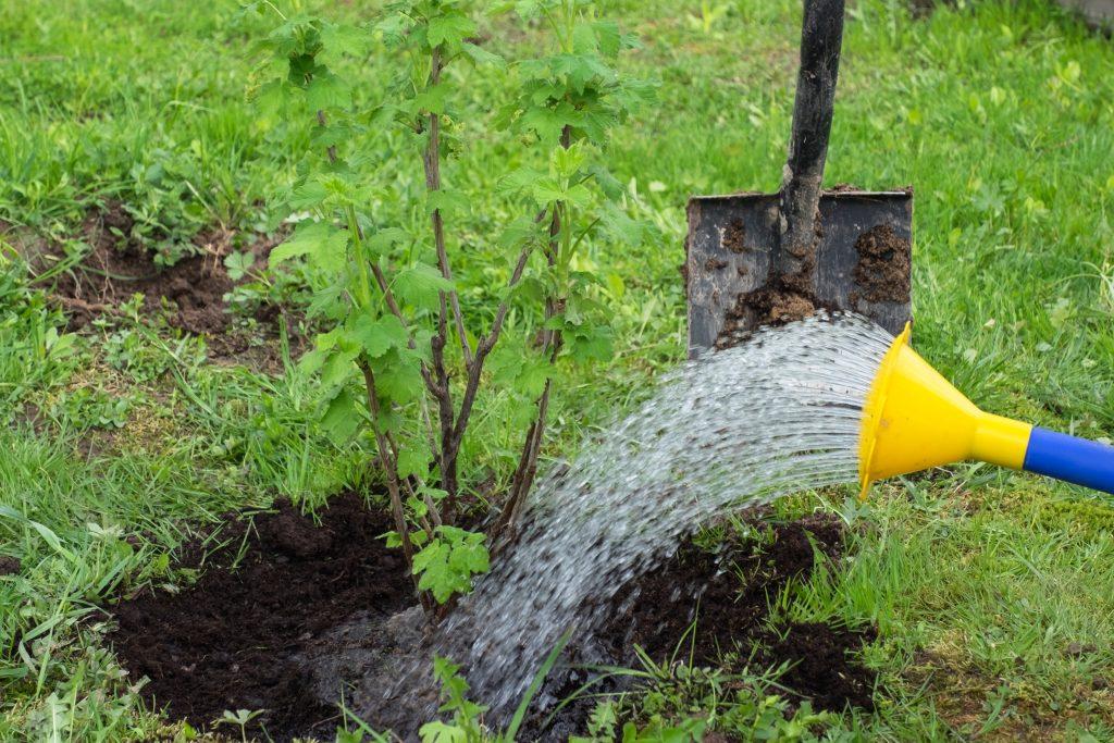 Удобрения для черной смородины при посадке осенью