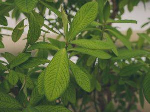 Синадениум — тонкости ухода за экзотическим деревом