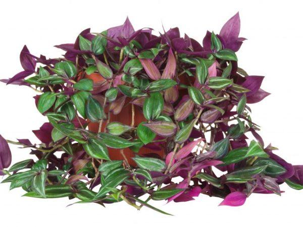 Цветок может укрепить здоровье