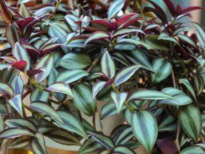Традесканция — приметы и суеверия о цветке
