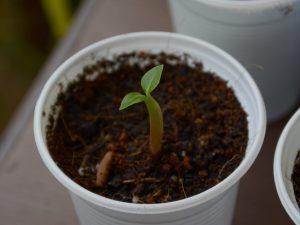 Как вырастить Адениум из семян