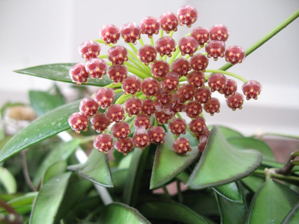 Хойя Грацилис (Hoya gracilis)