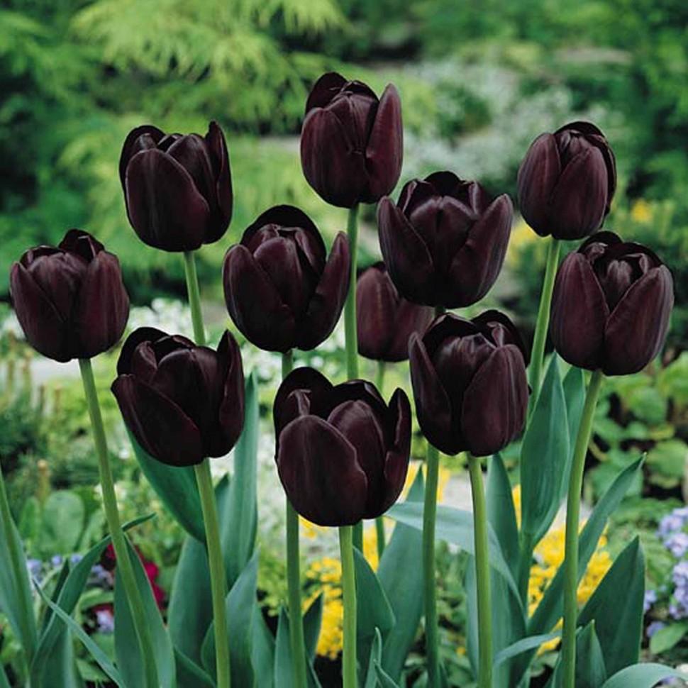Черный тюльпан год это