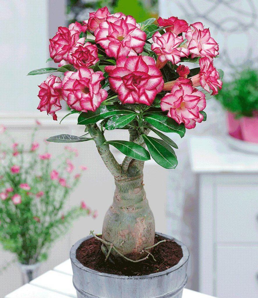 Адениум фото цветов