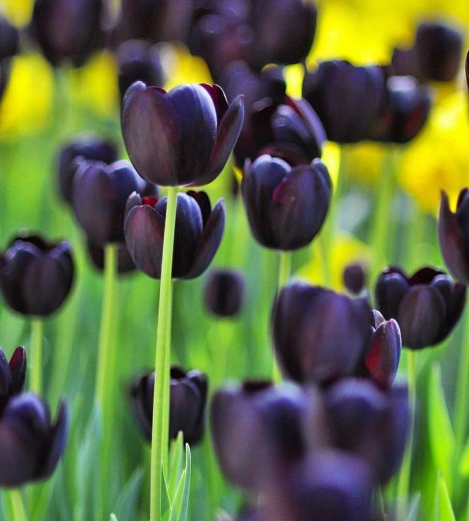 Что такое черный тюльпан