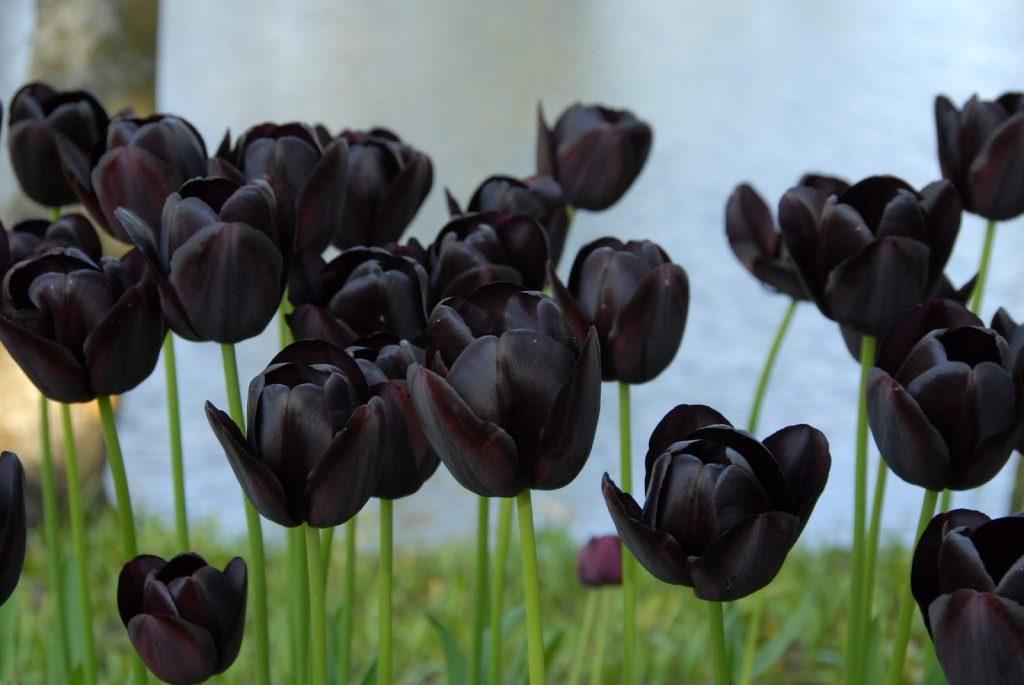 Черный тюльпан год