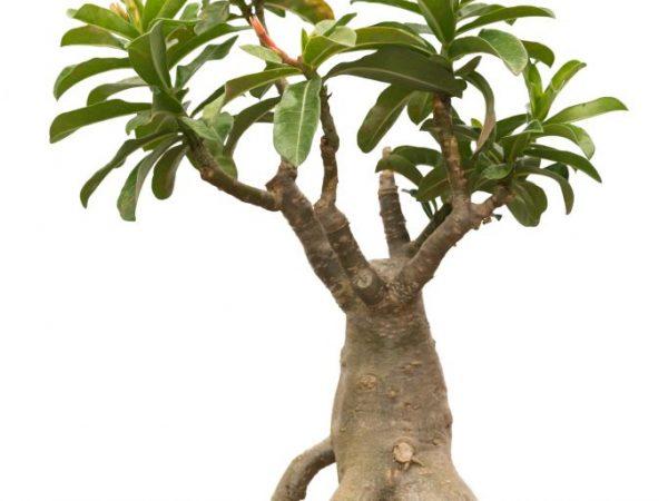 Пересаживать растение рекомендуется весной